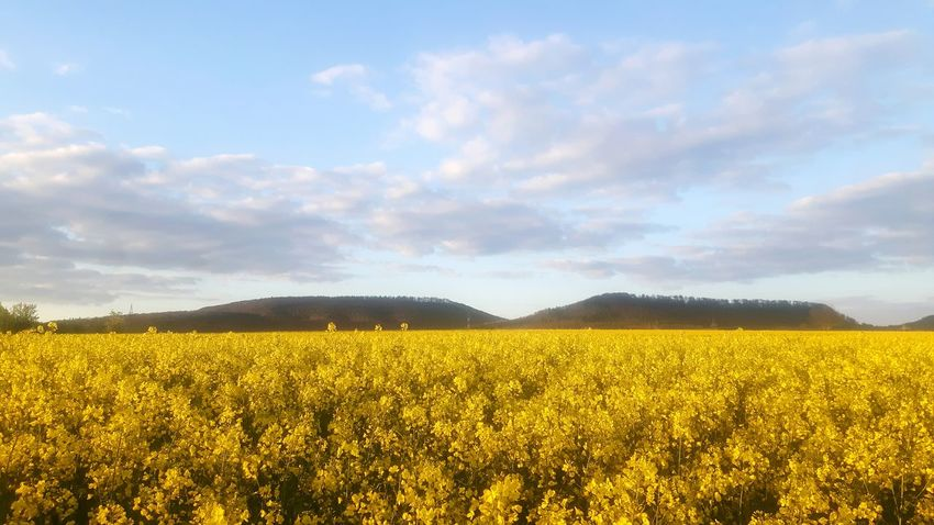 Field Flower Cloud - Sky Abundance Growth Agriculture Sky Nature Yellow Beauty In Nature Vibrant Color Tranquil Scene Plant Freshness Crop  Rural Scene Day Scenics Fragility Rapeseed Field Rapeseed Flowers Rapeseed Blossom Rapsfeldshooting Rapsfeld Landscape