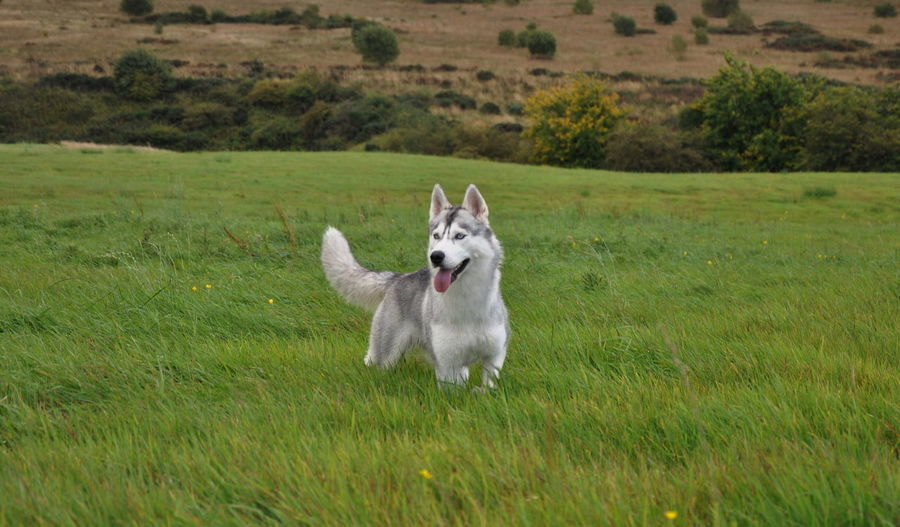 Siberian Husky Elza Animal Themes Day Dog Domestic Animals Field Grass Green Color Growth Husky Landscape Looking At Camera Mammal Nature No People One Animal Outdoors Pets Siberian Wolf