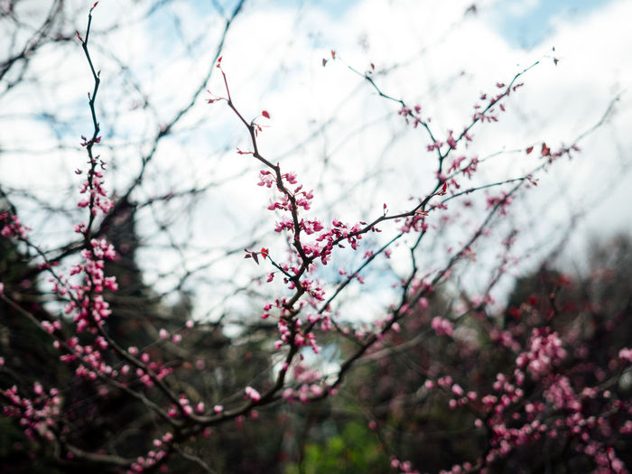 Australia Beauty In Nature Bokeh Bokehlicious Branch Branches Close-up Flower Flowers Nature Outdoors Plants Plants And Flowers Plum Blossom
