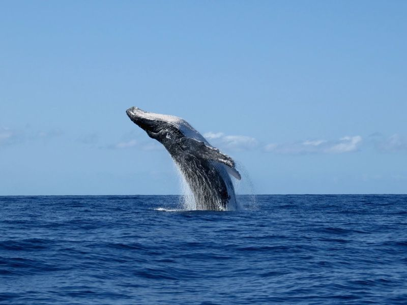Capturing Movement Whale Whale Watching Hawaii Maui The Right Place At The Right Moment