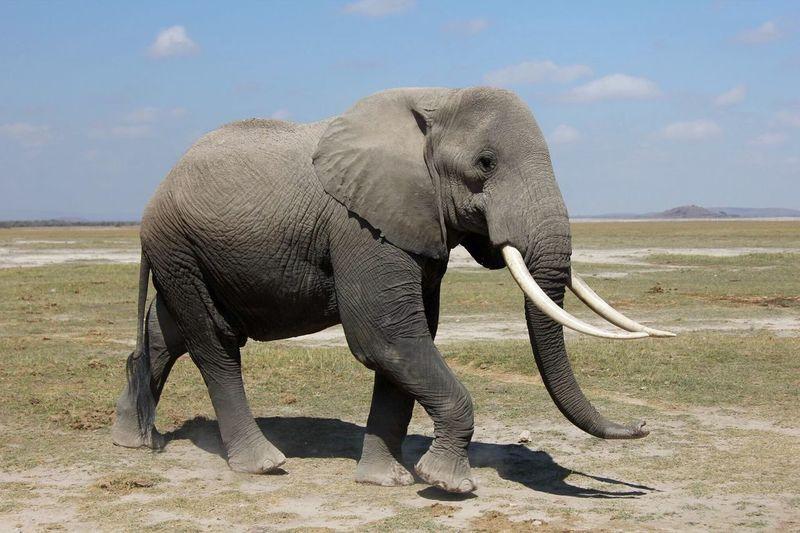 EyeEm Selects African Elephant Animal Trunk Animal Wildlife Safari Animals Animal Themes Tarangire