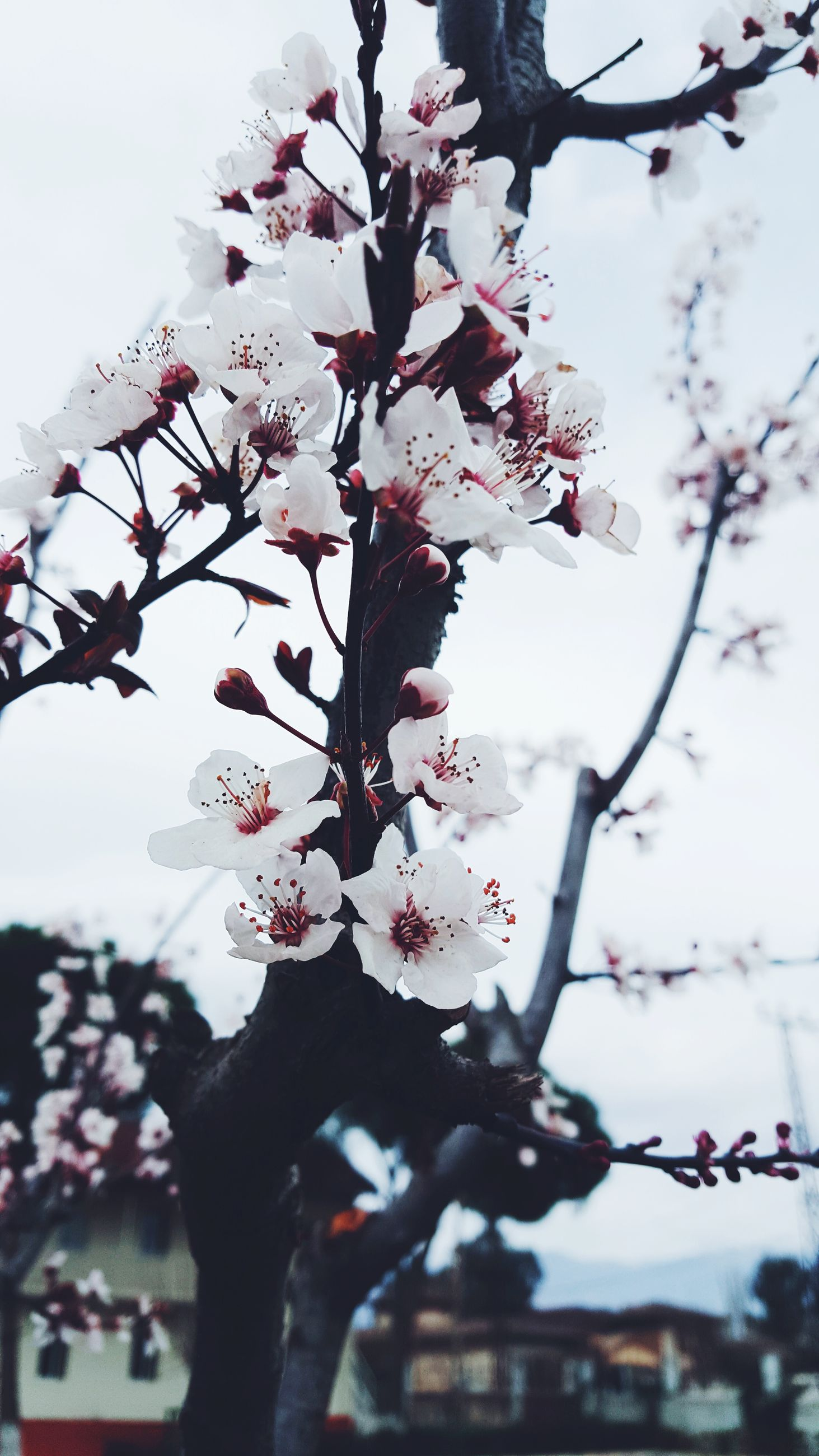 flower, tree, beauty in nature, blossom, fragility, growth, nature, springtime, freshness, branch, apple blossom, no people, white color, day, outdoors, close-up, spring, sky