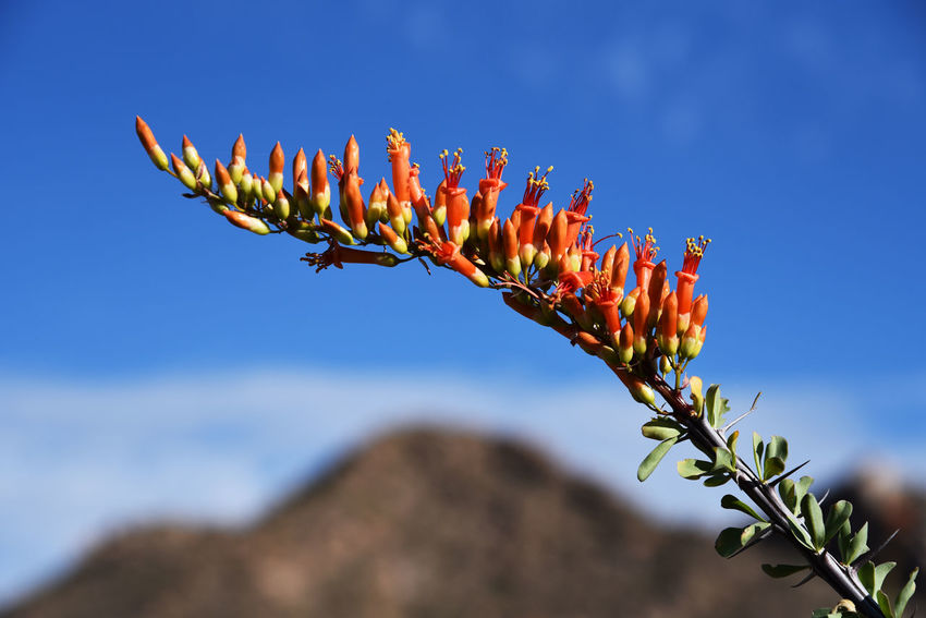 Ocotillo Plant blooming in Saguaro National Park Cactus Blue Sky Botany Close-up Flower Mountain Nature Ocotillo Plant