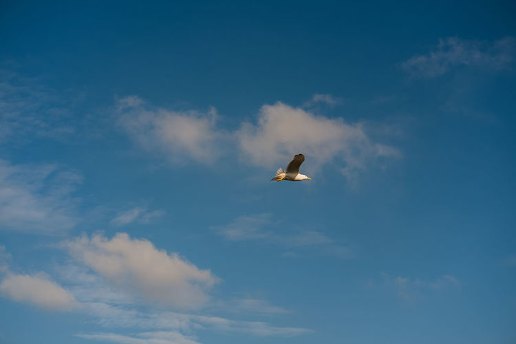 Bird flying high Animal Wildlife Bird Vertebrate Animal Themes Animals In The Wild Sky Cloud - Sky One Animal Flying Animal Low Angle View No People Spread Wings Beauty In Nature Mid-air Nature Day Blue Outdoors Seagull Motion Travel Copy Space Tranquility