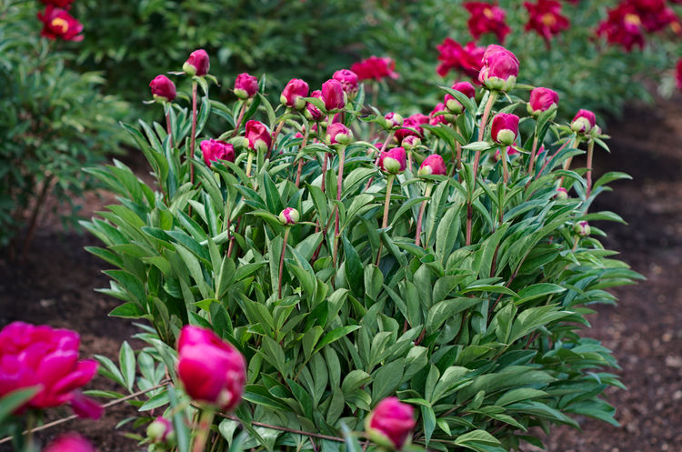Blooming pink peony Beauty In Nature Blooming Day Flower Green Color Growth Nature No People Outdoors Peony Flower Plant
