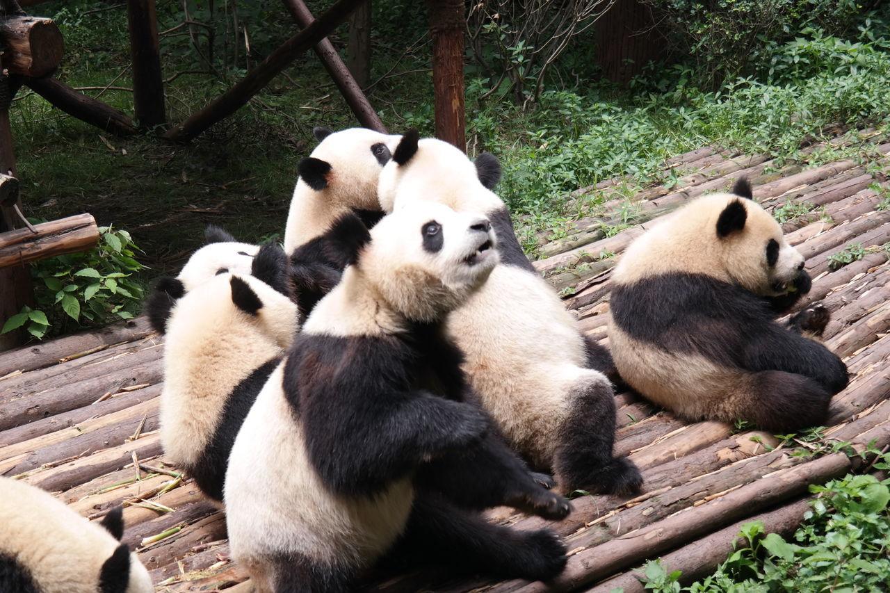 animals in the wild, animal themes, giant panda, bear, wildlife, panda, mammal, panda - animal, endangered species, zoo, outdoors, sitting, day, no people, nature, animal wildlife, relaxation, bamboo - plant, togetherness