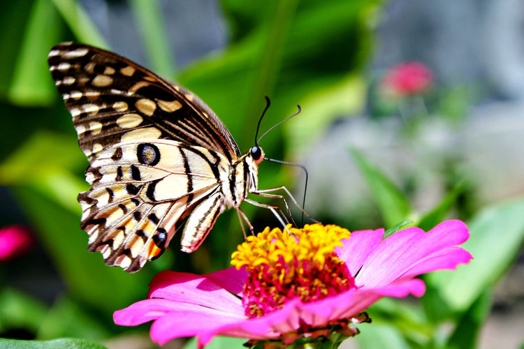 butterfly Animal Themes Animal Wildlife Animal Wing Animals In The Wild Beauty In Nature Butterfly Butterfly - Insect Close-up Day Flower Flower Head Focus On Foreground Fragility Freshness Growth Insect Nature No People One Animal Outdoors Perching Petal Pink Color Plant Pollination