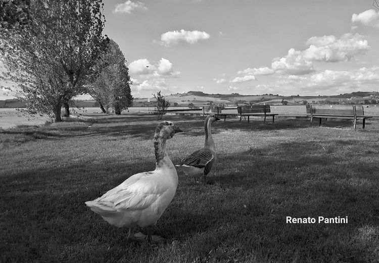 LagodiChiusi Lago Lake Toscana Tuscany Italy Italia Blackandwhite Blackandwhite Photography Animals Birds Oche Goose Gooses GalaxyS5 Samsung Galaxy S5 Animali