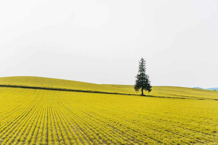 Plant Landscape Field Tree Land Environment Tranquility Beauty In Nature Tranquil Scene Growth Sky Scenics - Nature Rural Scene Agriculture Nature No People Day Clear Sky Copy Space Farm Outdoors Coniferous Tree Isolated