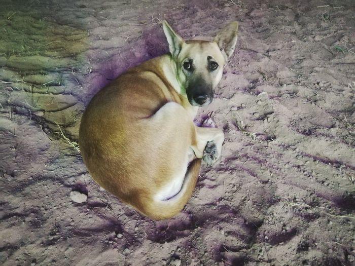 Dog Looking At Camera Animal Themes Pets One Animal Domestic Animals Mammal High Angle View