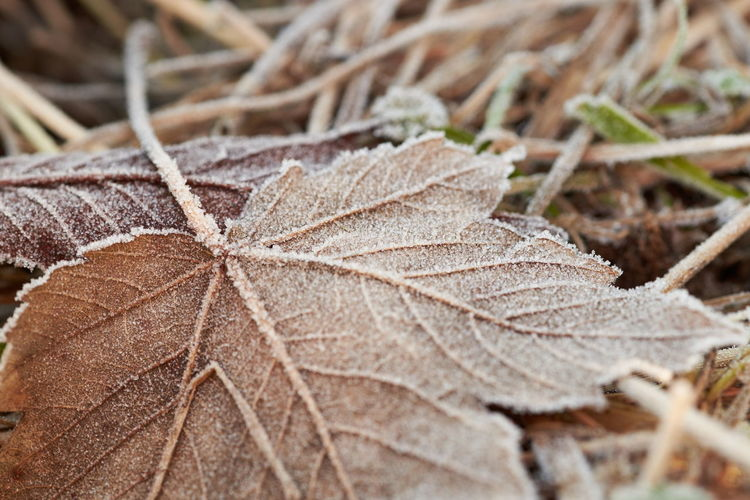Iced Leaf 03. The sight of a crisp coating of ice, is a wonderous thing. I also love the sound underfoot. Fuji XT1 with 90mm. Edit in Capture One pro 9. Beautiful Botany Close-up Detail EyeEm Best Edits EyeEm Gallery EyeEm Nature Lover Fragility FUJIFILM X-T1 Leaf Macro Macro Beauty Natural Pattern No People Pattern Selective Focus Surfacea Textured  Textures And Surfaces Tranquility Walking Around Winter Zen