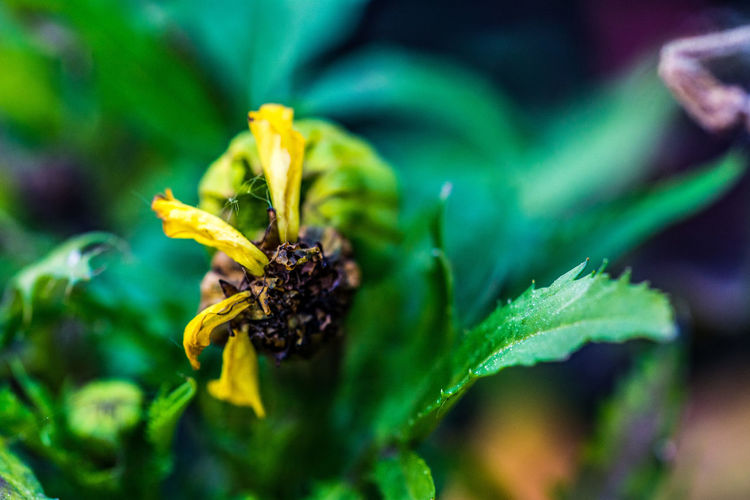 Beauty In Death Close Up Dying Flower Flower Fragility In Nature Green Missing Petals No People Yellow Flower