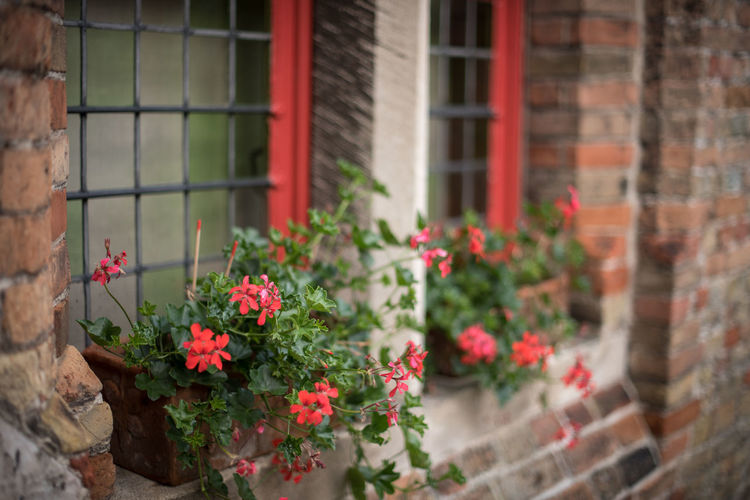 Architecture Blooming Blossom Botany Brick House Brick Wall Bruges Brugge Brugge, Belgium Flower Flowers At The Window Focus On Foreground Freshness Nature Petal Red Red Flowers Windows