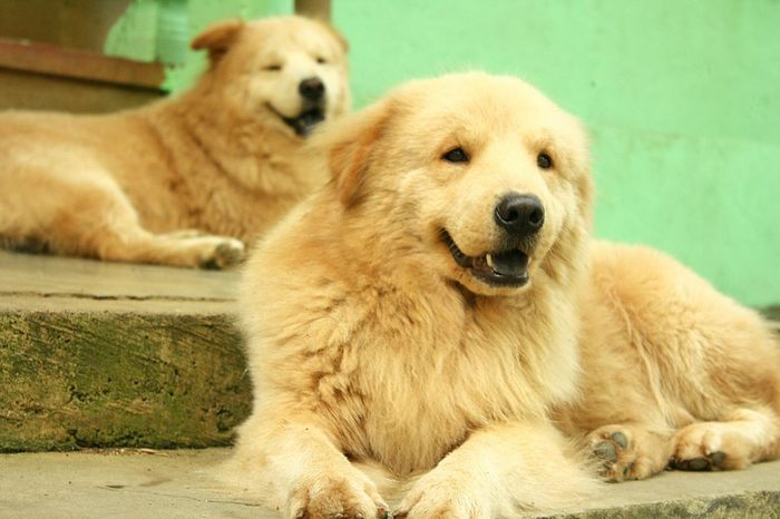 Chowchowmix🐶 Dogs Of EyeEm Chowchowretreiver Mixbreed Pets Sitting Dog Beauty Cute Young Animal Golden Retriever Animal Hair Looking At Camera Canine