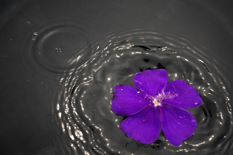 High angle view of purple flower floating on water