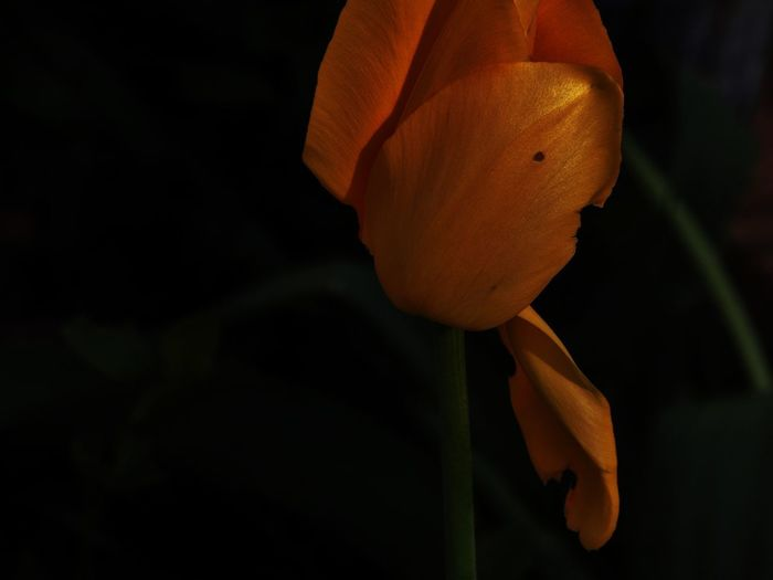Low Light Black Flower Flowers Rose - Flower Roses Wilting Wilting Flowers