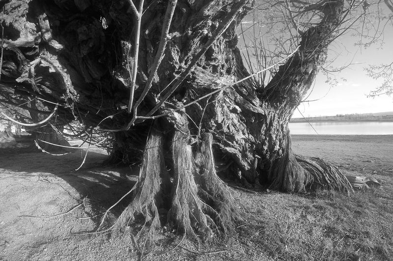 3 Maidens Amorphic Boulder Reservoir Bw Day Dying Tree Growth Growth Imposing Tree Magical Monster Movement Nature No People Old Tree Outdoors Struggle Tonal Contrast Tree Monster Trippy Water