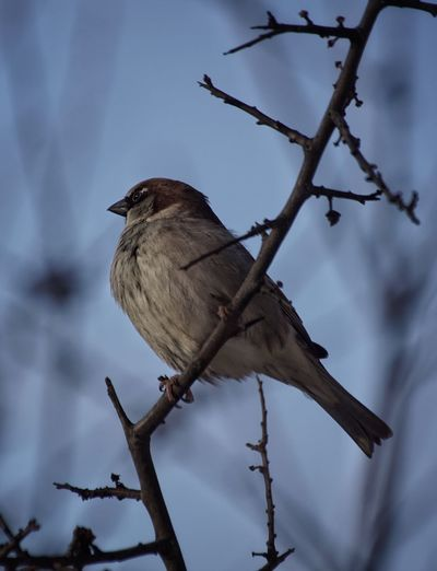 House Sparrow Niklas Februari 2018 Showcase February 2018 Animal Wildlife Bird Animal Tree Perching Nature Wilderness Animals In The Wild Full Length One Animal No People Branch Beauty In Nature Outdoors Day Close-up Animal Themes Sky