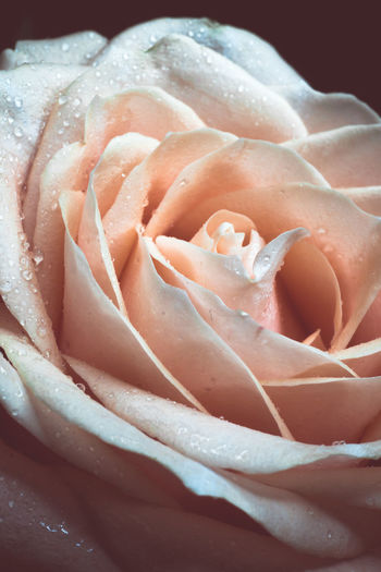 Close-up Rosé Beauty In Nature Water Flower Flowering Plant Plant Freshness Rose - Flower Inflorescence Nature Vulnerability  Flower Head Fragility Petal No People Wet Pink Color Drop Dew Softness