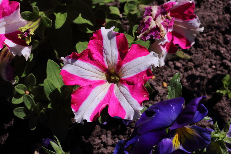 Beauty In Nature Blooming Close-up Day Djmarcop Field Flower Flower Head Fragility Freshness Green Growth Life Nature Nature Nature No People Outdoors Periwinkle Petal Petunia Pink Color Plant Sun