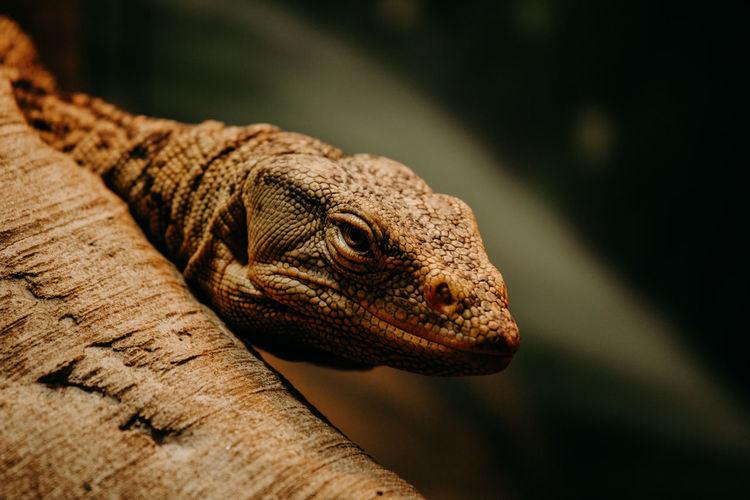 Iguana lizard close up. large reptilia close up