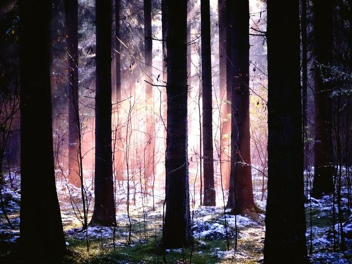 Mystical Atmosphere Tree trunk Forest Tree Curtain Nature No People Outdoors Scenics Drapes  Day Tranquility Backgrounds Close-up Beauty In Nature Fragility Sky Fog In The Trees Sunbeam On Tree Pink Light Pink Sunbeam Mystical Forest
