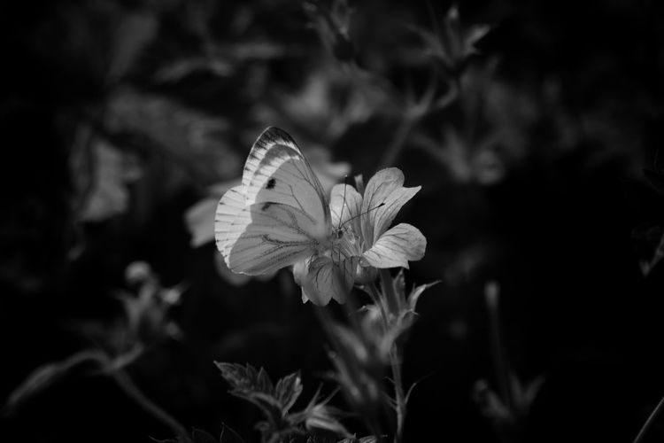 Bnw_friday_eyeemchallenge Black&white Blach And White Monocrome Butterfly - Insect Eyem Nature Lovers  Beautifulnature Light And Shadow