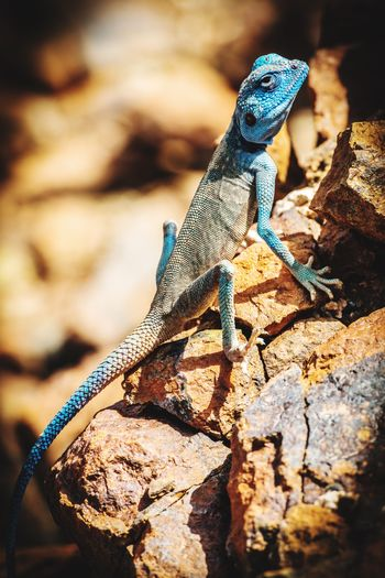 Sinai Agama found in Shawka, mountains of Ras Al Khaimah, United Arab Emirates 🇦🇪 Arabia Animals In The Wild Animal Themes Reptile Lizard Sinai Agama One Animal Animal Wildlife Lizard Animal Animals In The Wild Reptile Outdoors Rock - Object Rock Vertebrate Nature Day No People My Best Photo