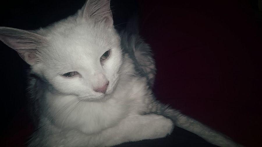 Simon Cat White