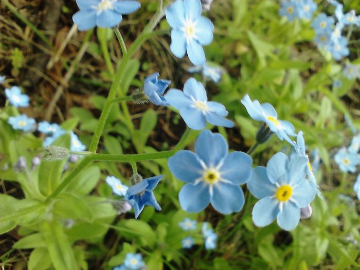 Goodmorning Sunshine Tangled Up In Blue Nature_collection Flowers_collection Forget Me Not Macro_collection Macro Beauty