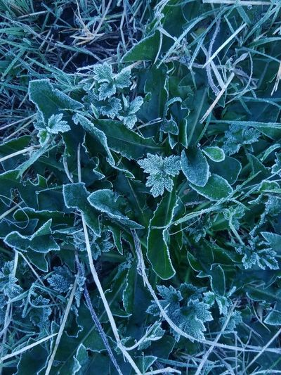 First Frost Weather Cold Temperature Season  Winters Here Winter Plant Frozen Frost Beauty In Nature Naturerox Treethugger Washington No People SummersEnd