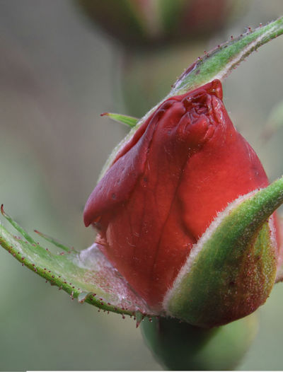 A buddy bud in the garden Beauty In Nature Buddy Bud Close-up Day Flower Flower Head Fragility Freshness Growth Nature No People Outdoors Plant Red Rose Bud