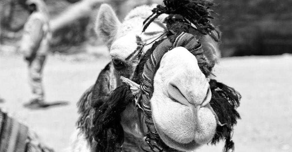 Close-up of camel outdoors