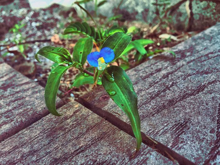 Little blue. Flowers Blue Nature After The Rain Waterdrops Green Florida Wildflowers Iphonephotography