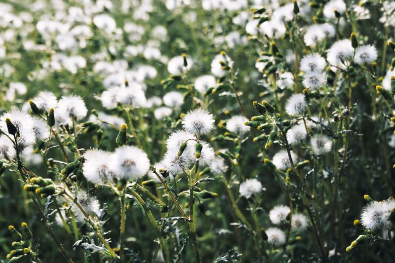Dandelion Plant Flower Growth Flowering Plant Beauty In Nature Fragility Vulnerability  Green Color Flower Head Tranquility Close-up Focus On Foreground Day Nature Outdoors No People Inflorescence Sunlight Freshness White Color