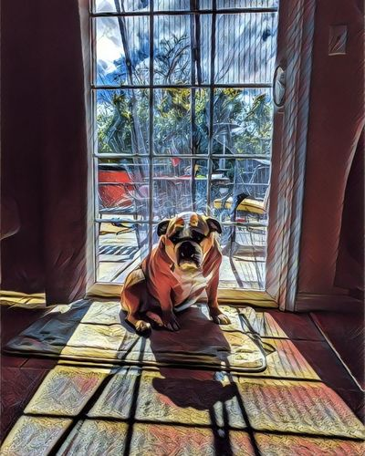 EnglishBulldog Sad Sitting Window Day Indoors  Dog Fatdog Browndog Filter EyeEmNewHere