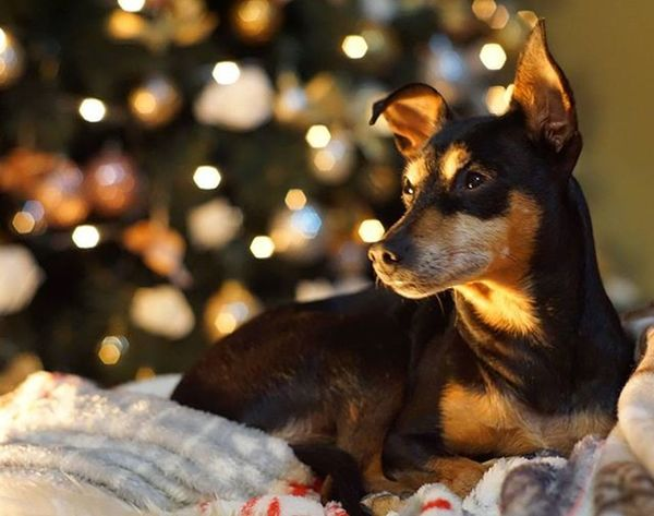 Dobermannpinscher Doglover Dobermannpinscher Dogsofinstagram Puppy Pet Rescuedog Rescue Minipin Zwergpinscher Pinscher Xmas Cutedog Lights Bokeh