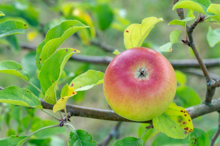 apple at a branch of a apple tree Apple Apple - Fruit Apple Tree Branch Close-up Focus On Foreground Food Food And Drink Freshness Fruit Green Color Growth Healthy Eating Leaf Nature No People Outdoors Plant Plant Part Red Ripe Tree Wellbeing