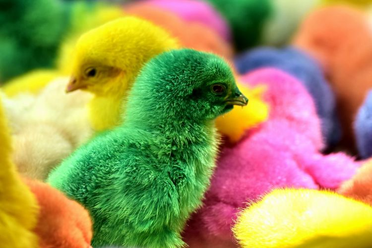 Close-up of colorful chicks