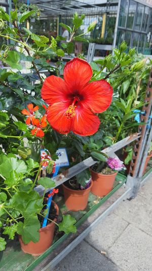 I love this flower! Its my favorite! Tropical Flowers Hibiscus Hibiscus Flower