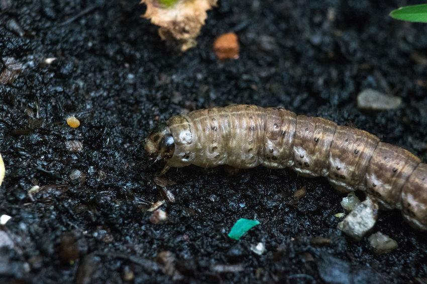 Caterpillar Close Up Close-up Compost Day Dirt Horiontal Insect Macro Nature No People Outdoors Selective Focus