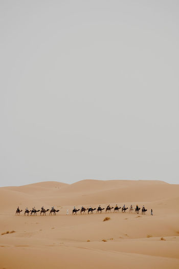 Camels On Sand Against Clear Sky