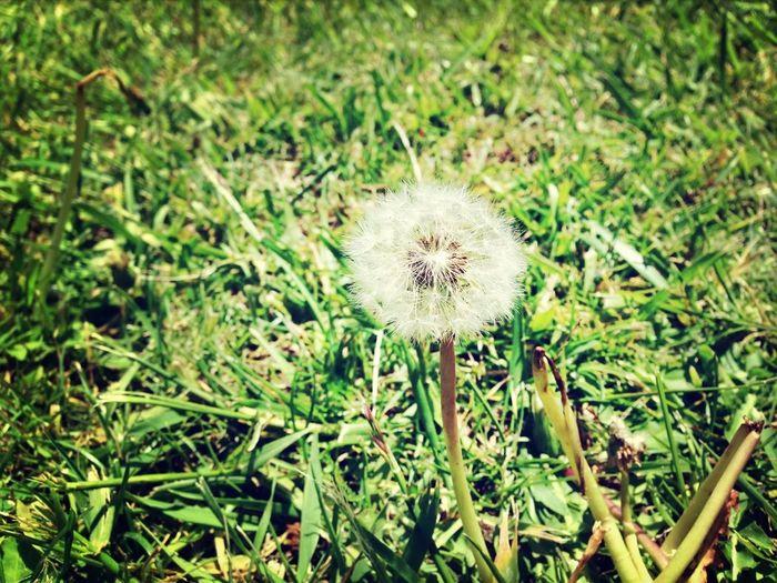 A Walk In The Park Dandelion