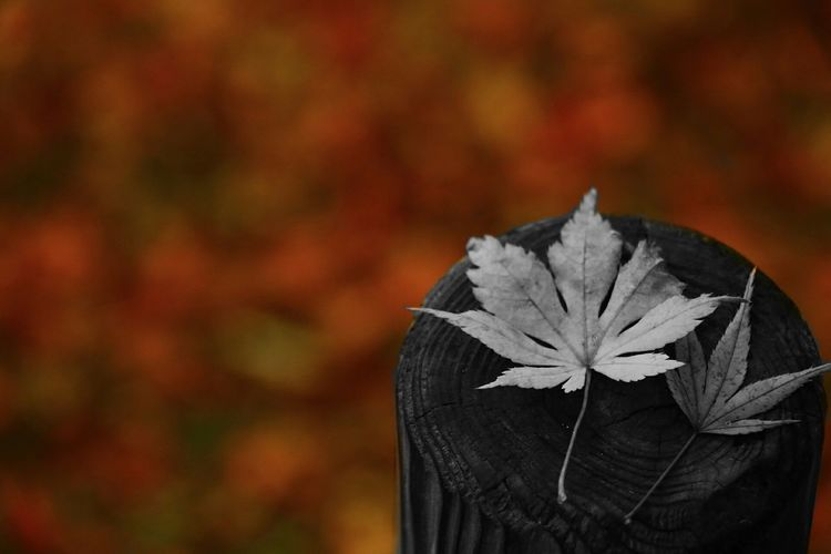 Leaf Close-up Nature Autumn Red Enjoying Life 紅葉2016 Canon 70d 紅葉 写真撮ってる人と繋がりたい Beauty In Nature ファインダー越しの私の世界 写真好きな人と繋がりたい EyeEm Best Shots EyeEm Gallery Canon EOS 70D Flower Black And White Monochrome BW_photography カラスプ Monochrome_life