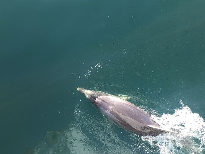 High angle view of dolphin swimming in sea