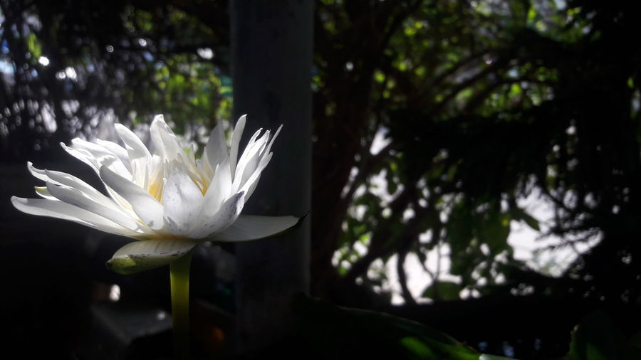 Beauty In Nature Blooming Close-up Day Flower Flower Head Focus On Foreground Fragility Freshness Growth Leaf Nature No People Outdoors Petal Plant Tree White Color