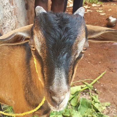 Goat :-P