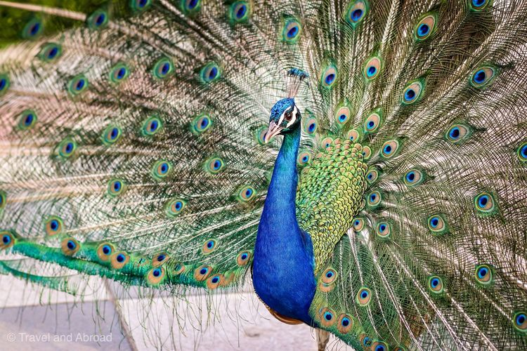 Close-up of peacock with fanned out feather