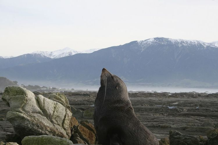 Sea lion looking the sky in front of new zealand mountains