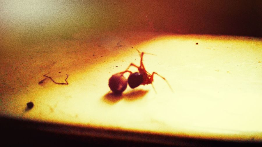 Friendly neighborhood spider protects her egg sac Spider Caribbean Critters Isnaplife